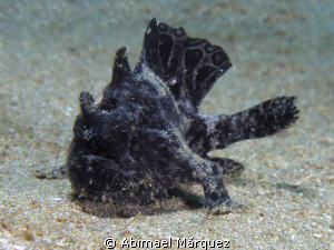Triated Frogfish #6, I see six frogfish in one diving by Abimael M&#225;rquez 